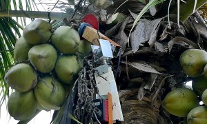 Meet Amaran: A tree-climbing robot that can safely harvest coconuts article image